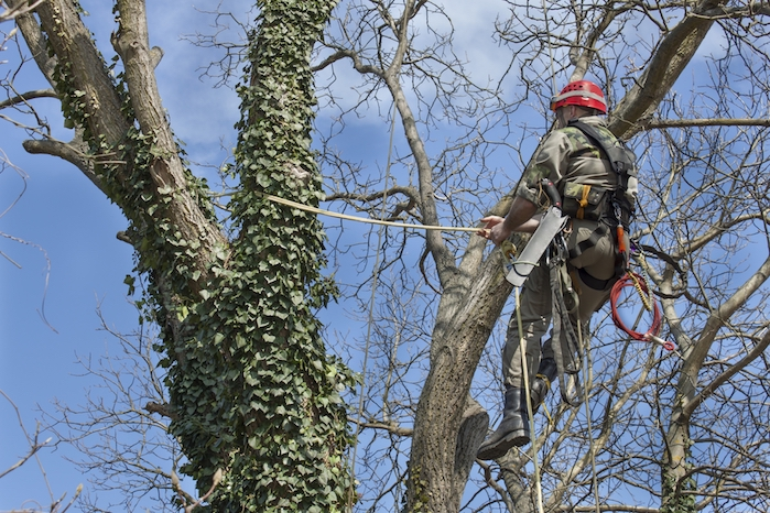 Picture of our tree climber in a customers tree cutting down old branches in Aurora, IL
